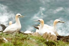 北的gannets 免版税库存图片