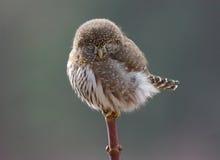 北矮小猫头鹰- Glaucidium gnoma 库存照片