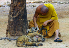 北碧,泰国- 2015年1月10日:在老虎寺庙的老虎 图库摄影