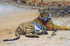 北碧,泰国- 2015年1月10日:在老虎寺庙的老虎 库存照片