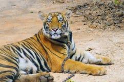 北碧,泰国- 2015年1月10日:在老虎寺庙的老虎 免版税图库摄影