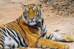 北碧,泰国- 2015年1月10日:在老虎寺庙的老虎 库存图片