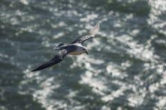 北管鼻获在飞行中在Aberdour,鼓笛苏格兰 免版税图库摄影