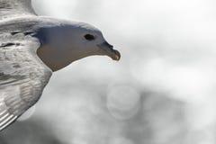北管鼻获在飞行中在Aberdour,鼓笛苏格兰 库存图片