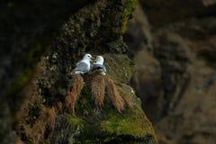 北管鼻获, Fulmarus glacialis,筑巢在黑暗的峭壁 在巢对的两只白海鸟在海洋的管鼻获沿岸航行 库存图片