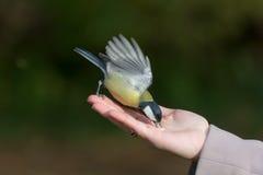 北美山雀吃坚果 免版税库存照片