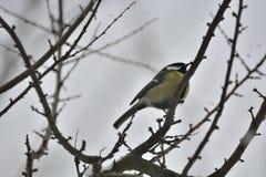 北美山雀在冬天 图库摄影
