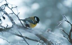 北美山雀在冬天 免版税库存照片