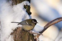 北美山雀在冬天 库存照片