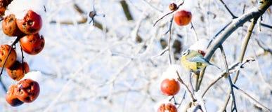 北美山雀坐一棵多雪的苹果树 免版税图库摄影