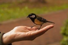 北美山雀坐妇女的开放棕榈 山雀吃从人的手的向日葵种子 人们喂养鸟 库存图片