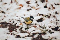 北美山雀坐雪的第一个秋天 免版税库存照片