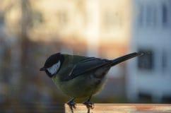 北美山雀坐饲养者 图库摄影