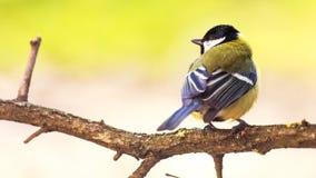 北美山雀是一自然的在狂放 免版税库存照片