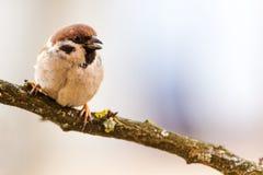 北美山雀是一自然的在狂放 库存图片