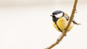北美山雀是一自然的在狂放 图库摄影
