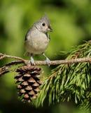 北美山雀簇生了 免版税库存图片