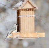 北美山雀簇生了 免版税图库摄影