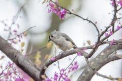北美山雀簇生了 图库摄影