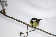 北美山雀表面视图 免版税库存照片