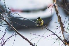 北美山雀鸟冬天 库存图片