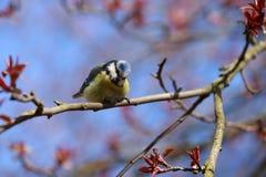北美山雀(拉特 Cyanistes caeruleus)坐树 库存图片