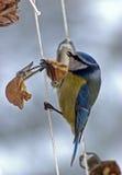 北美山雀 库存照片