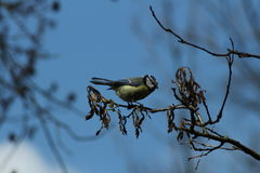 北美山雀 库存图片