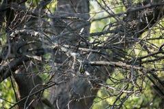 北美山雀 免版税库存照片