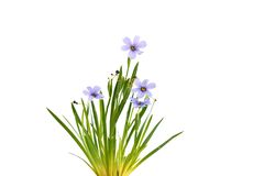 北美春季香草德文郡天空,蓝眼睛的草 图库摄影