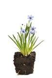 北美春季香草德文郡天空,蓝眼睛的草 免版税库存图片