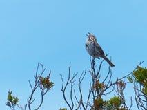北美歌雀唱歌 库存图片
