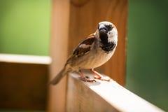 北美歌雀在木元素和唱歌栖息 免版税图库摄影