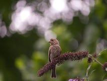 北美歌雀坐flowers_7-18-18、波特兰或者美国 免版税库存图片