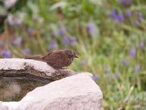 北美歌雀坐flowers_7-18-18、波特兰或者美国 免版税图库摄影