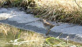北美歌雀鸟, Sweetwater沼泽地在图森亚利桑那美国 库存图片