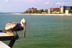 北美洲当地鹈鹕鸟,迈尔斯堡码头海滩,佛罗里达美国 免版税库存照片