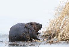 北美洲海狸铸工canadensis坐一个冰冷的池塘在早期的春天的吃木头在加拿大 免版税库存照片