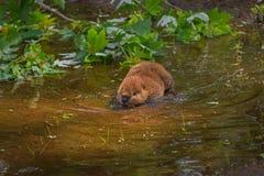 北美洲海狸铸工canadensis成套工具趟过入水 免版税库存照片