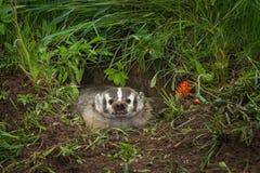 北美洲獾獾亚科类罗汗松咆哮在小室外面 免版税库存照片