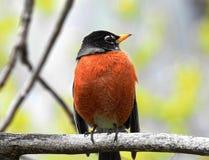 北美洲的鸟-美国人罗宾 免版税图库摄影