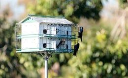 北美洲紫燕鸟Progne subis在birdhous附近飞行并且栖息 免版税图库摄影