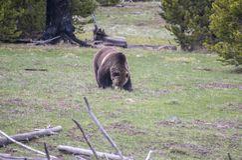 北美灰熊为在黄石国家公园西方拇指区段的根开掘  库存图片