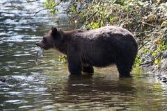 北美灰熊传染性的三文鱼 库存照片