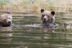 北美灰熊兄弟 免版税库存照片