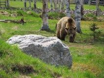 北美灰熊加拿大 库存照片