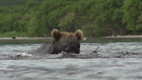 北美灰熊和三文鱼 影视素材