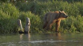 北美灰熊和三文鱼 股票录像