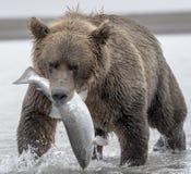 北美灰熊和三文鱼 免版税库存图片