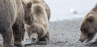北美灰熊和两崽 免版税库存图片
